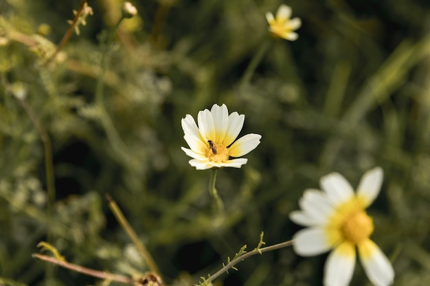 Daisy bloeit dichtbij de rivier