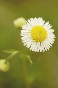 Daisy bloem close-up op donkere achtergrond, filter,
