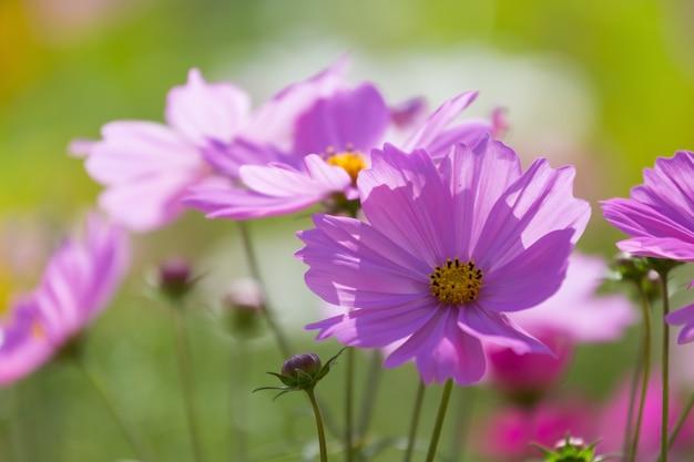 Daisy bloem roze in de tuin