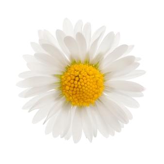 Daisy geïsoleerd op wit