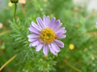 Daisy paarse bloem