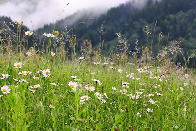 Daisy weide en bergen op de achtergrond