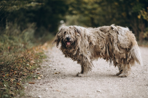 Dakloze oude hond die in park loopt