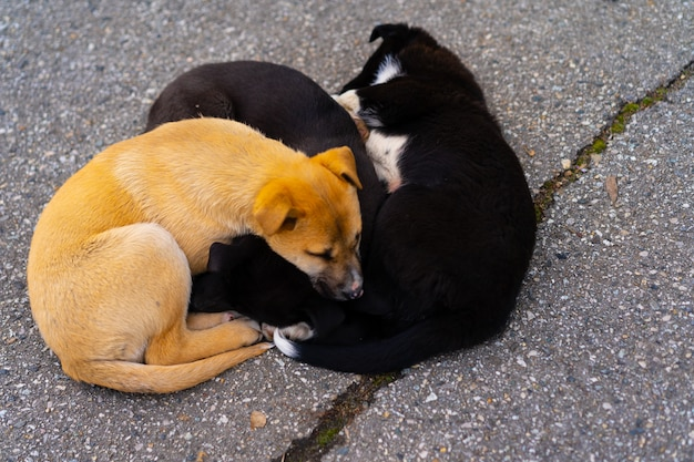 Dakloze puppy's liggen op de grond