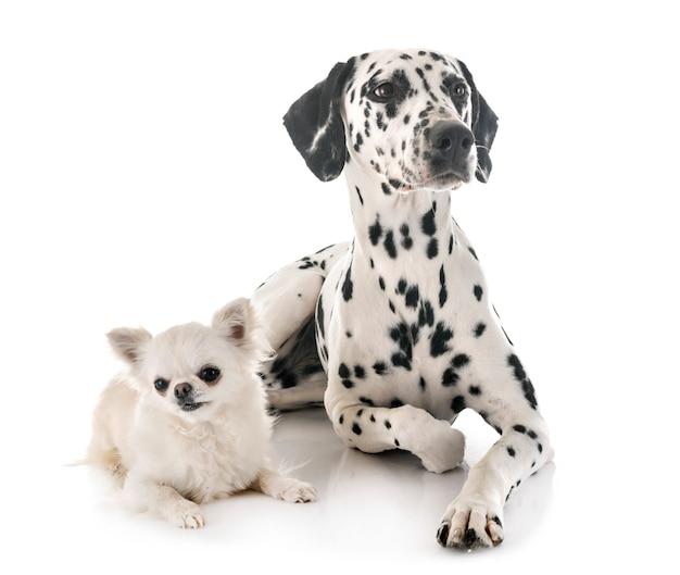 Dalmatiër en chihuahua