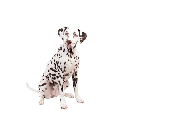 Dalmatiër zitten kijken naar de camera geïsoleerd op wit