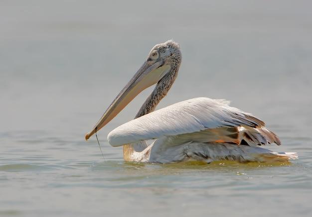 Dalmatijnse pelikaan uit de donaudelta