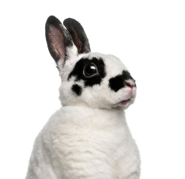 Dalmatisch konijn tegen wit oppervlak