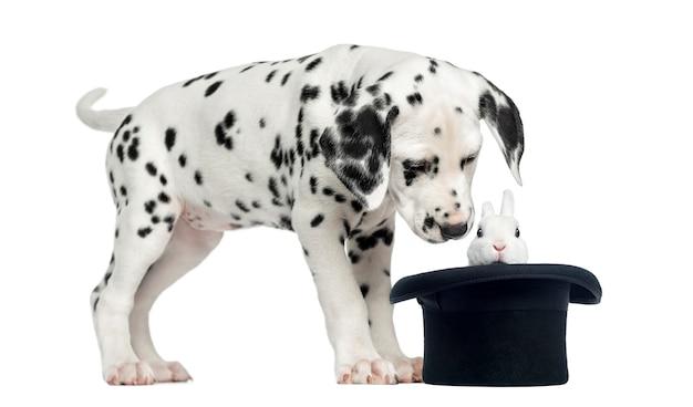 Dalmatisch puppy dat een geïsoleerd konijn in zwarte hoge zijden bekijkt ,.