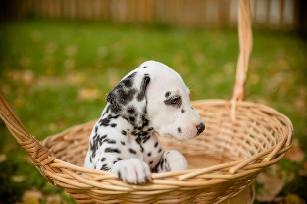 Dalmatische hond buiten in zomer speels hondenras