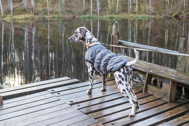 Dalmatische hond die zich dichtbij meer bevindt. hond draagt in warme kleren. grote hondenrassen. puppy in de vacht op
