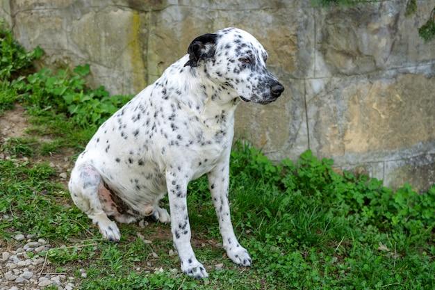 Dalmatische hond zit en rust op het gras.