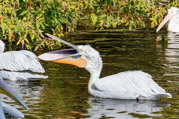 Dalmatische pelikaan (pelecanus crispus) in de vijver bij de dierentuin