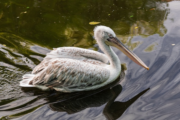 Dalmatische pelikaan (pelecanus crispus),