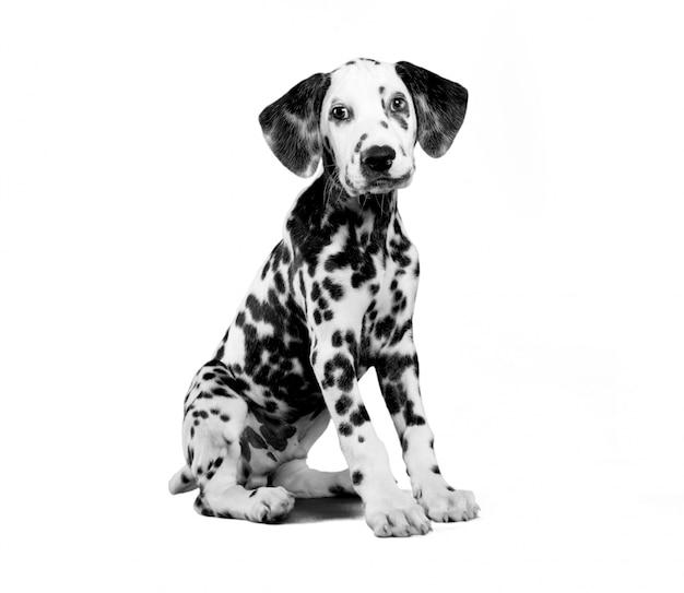 Dalmatische pup