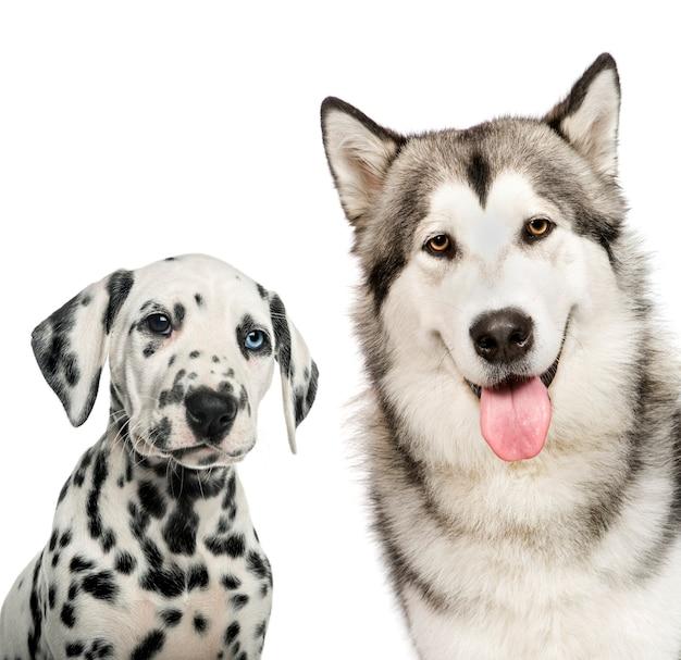 Dalmatische puppy, alaskan malamute, voor witte muur