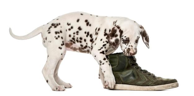 Dalmatische puppy kauwen een schoen voor een witte muur