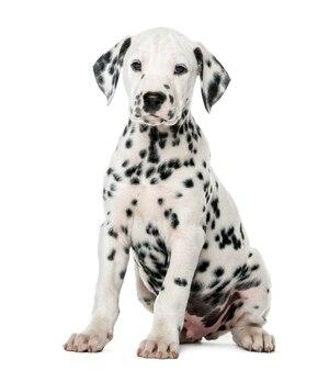 Dalmatische puppy zit een witte muur