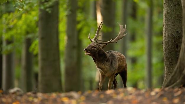 Damherten brullen in het bos in de bronsttijd