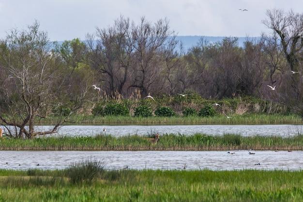 Damherten in het natuurreservaat aiguamolls de l'emporda, spanje.