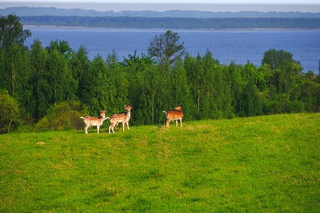 Damherten op een bosopen plek
