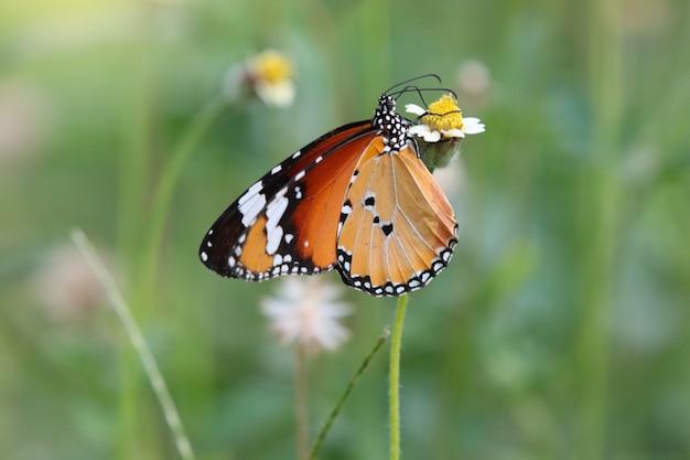 Danaidae-vlinder kleine dierlijke witte en bruine kleuren voedende nectar van uiterst kleine bloem in zomer