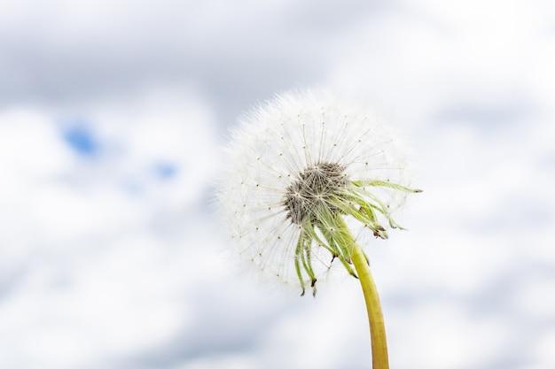 Dandeliongainst the sky