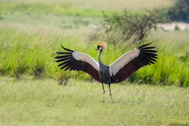 Dansende gekroonde kraan murchison falls national park oeganda afrika