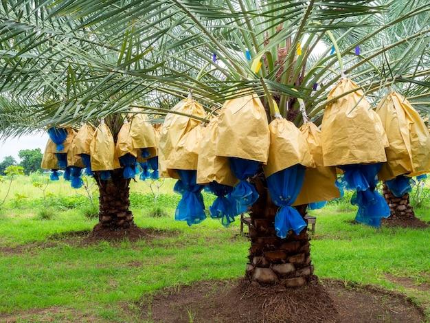 Datums op palmboom. stelletje gele dadels op dadelpalm in de boerderij.