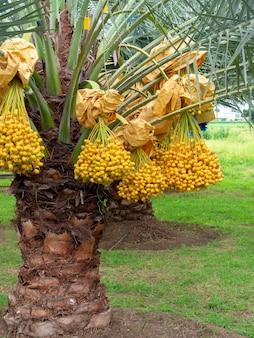 Datums op palmboom. stelletje gele dadels op dadelpalm, verticale stijl.