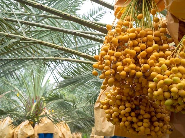 Datums op palmboom. stelletje gele dadels op dadelpalm.