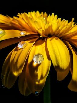 Dauw druppels op gele chrysant