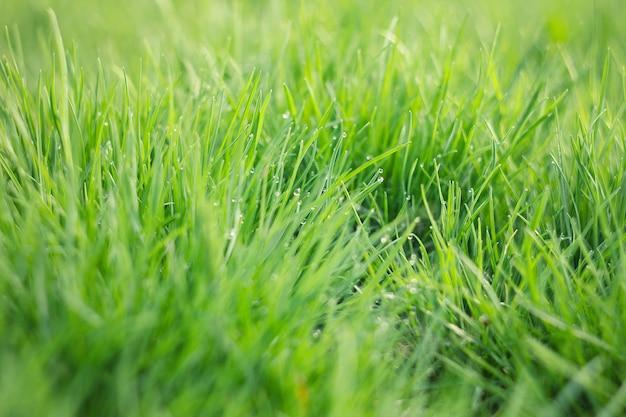 Dauw druppels op jong groen gras. vers groen de lentegras met de close-up van dauwdalingen.