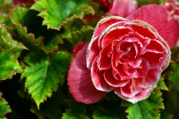 Dauwdruppels op een roze roze bloem