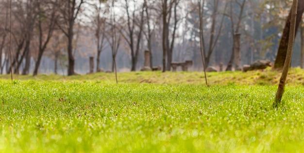 Dauwdruppels op felgroen gras in de ochtend. ochtendpark in het voorjaar