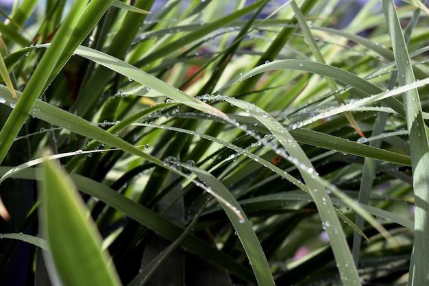 Dauwdruppels op groen gras