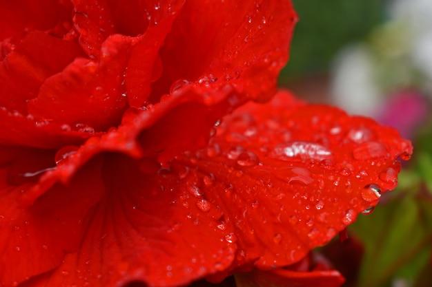 Dauwdruppels op scharlaken roos