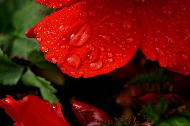 Dauwdruppels op scharlaken roze bloem