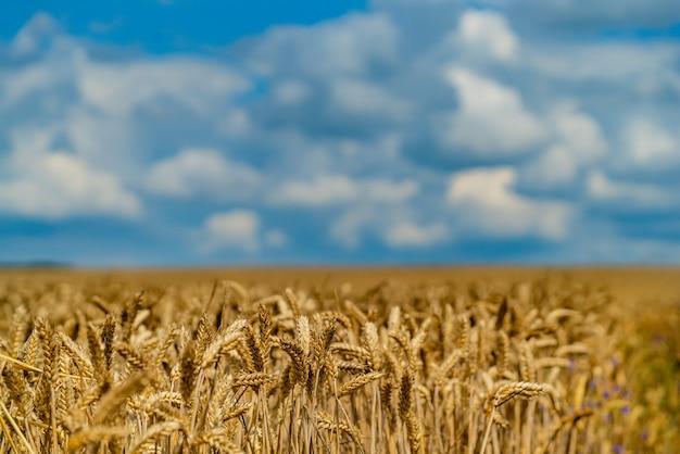 De aanplant van tarwe rijpt in het veld