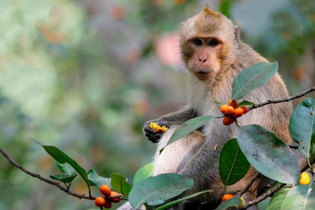 De aap die voedsel op boom in thailand eet