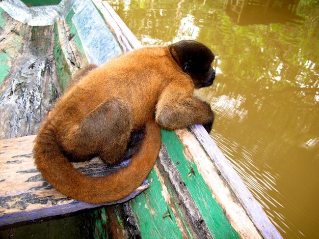 De aap in de amazone-rivier, peru, zuid-amerika