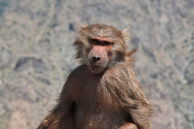 De aap in de bergen van saoedi-arabië