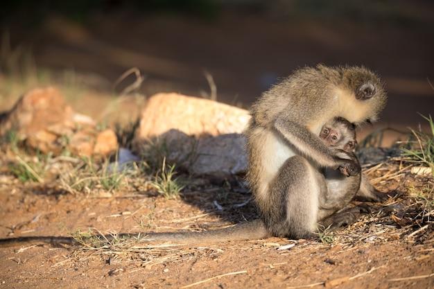 De aap met een babyaapje in de arm