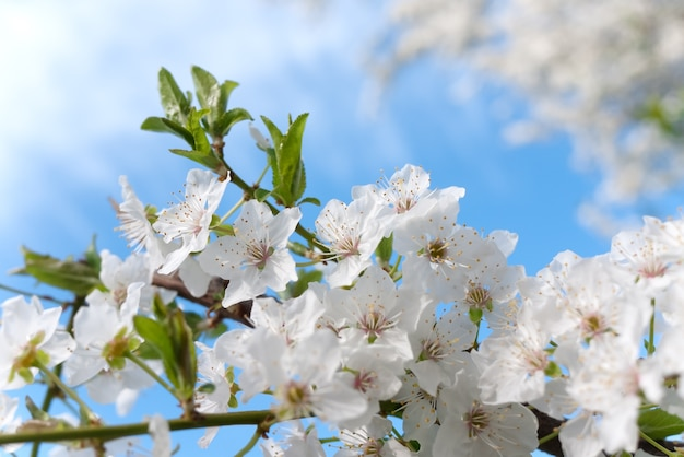 De aardachtergrond van de lente met kersenbloesem op blauwe hemelachtergrond