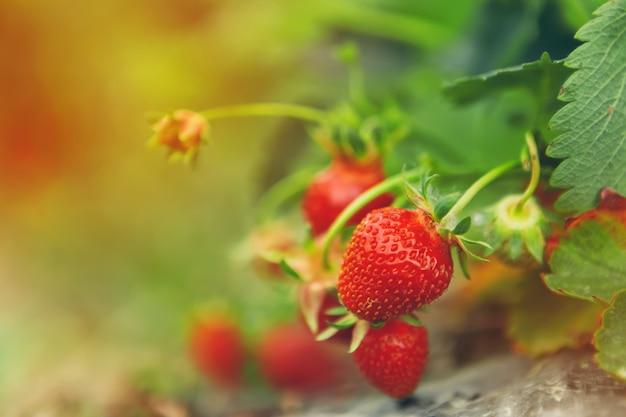 De aardbeien op aardbei planten dicht omhoog in het ochtendlicht