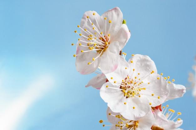 De abrikozenlente bloeit dicht omhoog