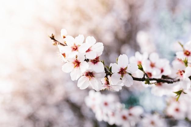 De achtergrond van amandel komt boom tot bloei. kersenboom met tedere bloemen. geweldig begin van de lente. selectieve aandacht. bloemen concept.
