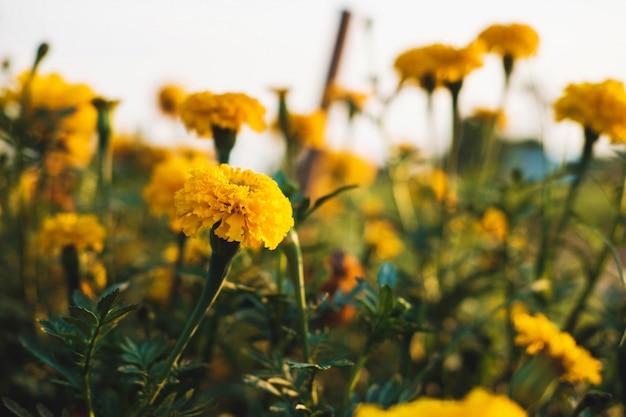 De achtergrond van goudsbloemen en de avondzon