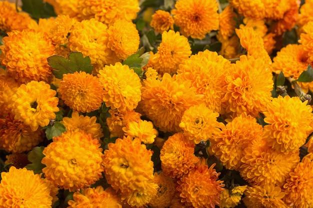 De achtergrond van oranje chrysanten sluit omhoog