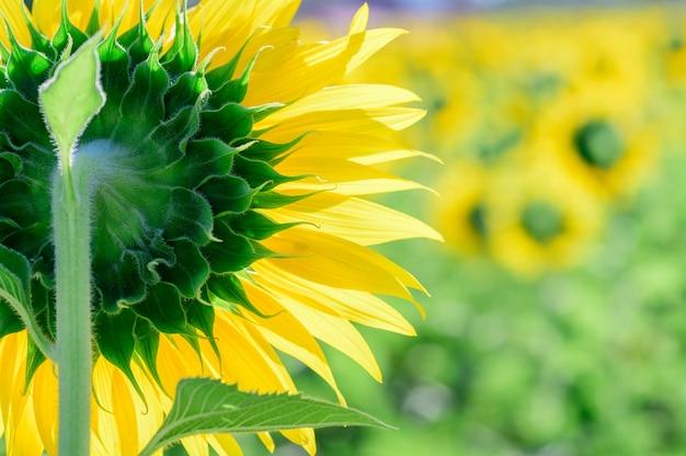 De achterkant van grote zonnebloem op zonnebloemgebied bij snoeit buri-provincie